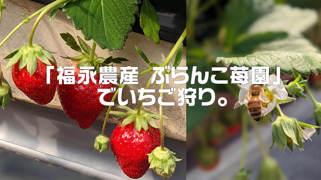 兵庫県のおすすめのいちご狩りスポット「福永農産 ぶらんこ苺園」でいちご狩り体験をしよう。